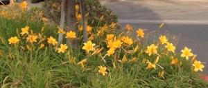 Daffodils Howe Avenue